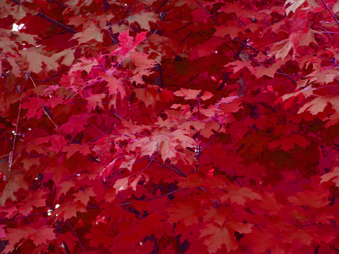 Maple tree, taken with digital camera and turned to red